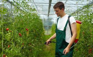 Какие удобрения и когда использовать для подкормки томатов в теплице