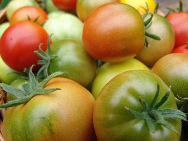 Дефицит питательных элементов в томате