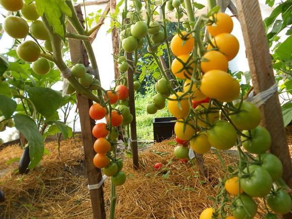 желтые томаты в теплице