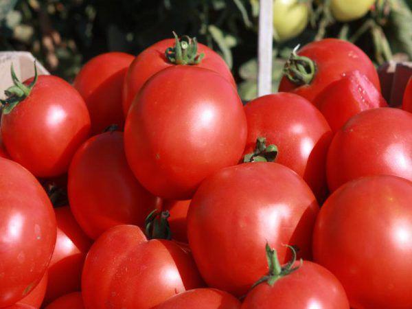 томат скиф