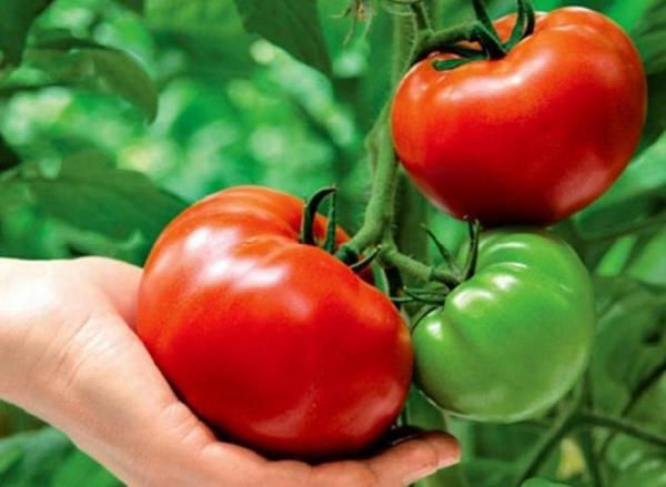 Недостаточное или избыточное освещение помидоров