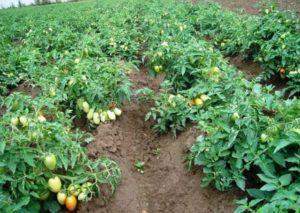 Какими удобрениями подкормить помидоры в открытом грунте и теплице