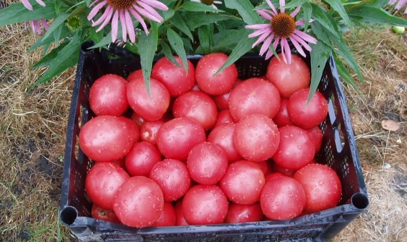 томаты в ящике