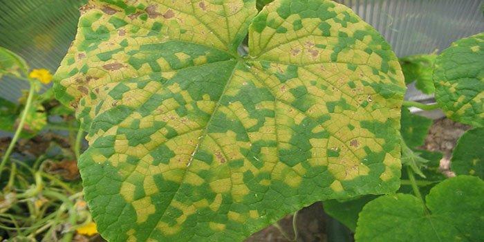 желтые пятнана листьях
