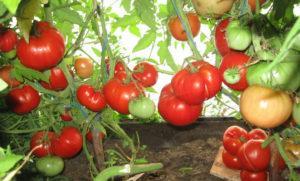 Описание лучших сортов и рейтинг томатов для теплицы на 2019 год