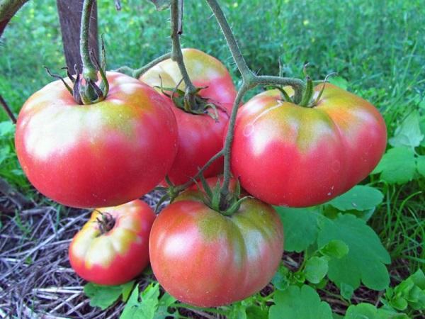 томат Новосибирский розовый