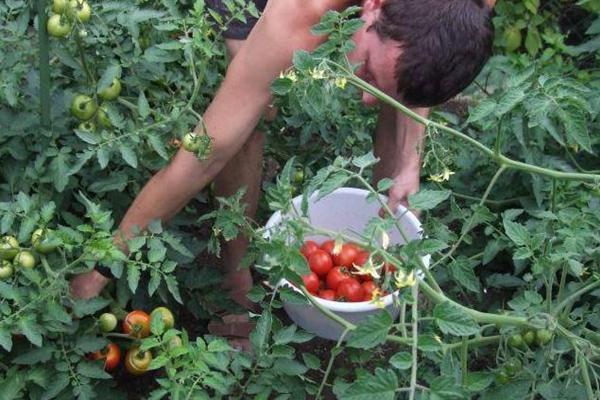 Удобрение томатов коровяком