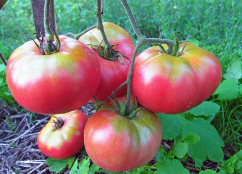 томат микадо
