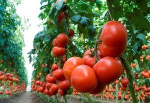 Описание лучших сортов высокорослых томатов для открытого грунта