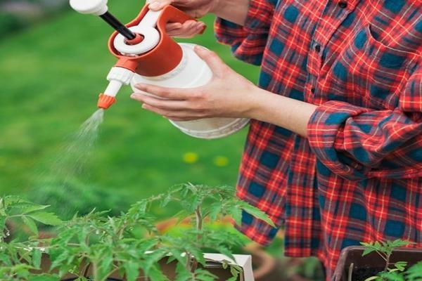 Опрыскивание кустов томатов борной кислотой