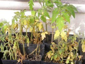 Причины, почему гибнет (падает) рассада помидоров и что делать