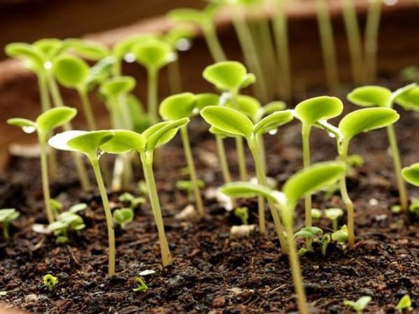 проращивание семян томата