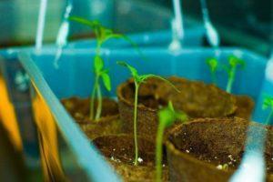 Через сколько дней после посева всходят семена помидор, сроки и условия для прорастания