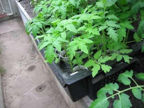 рассада томата в горшках