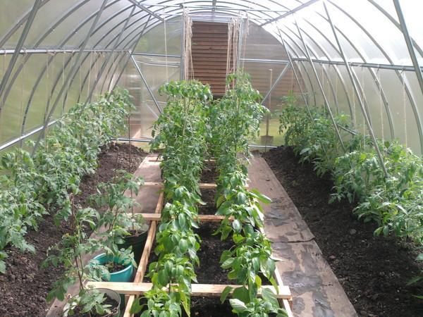 высаженные томаты в теплице
