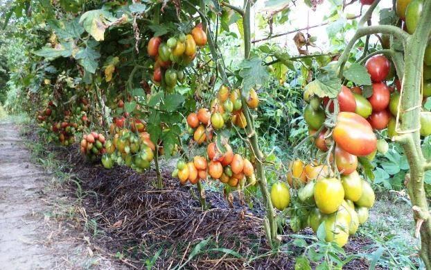 Одним из самых популярных и простых способов поддержать активную жизнедеятельность томатов является применение обыкновенных дрожжей в качестве подкормки.