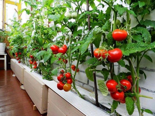 кусты томата в доме