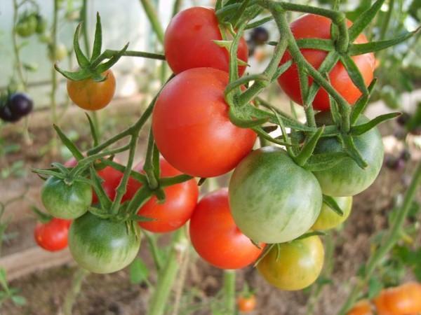 кусты томата черри