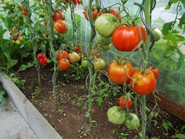 красные и зеленые томаты