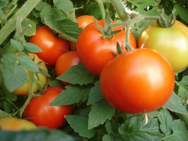 Бушмен томат