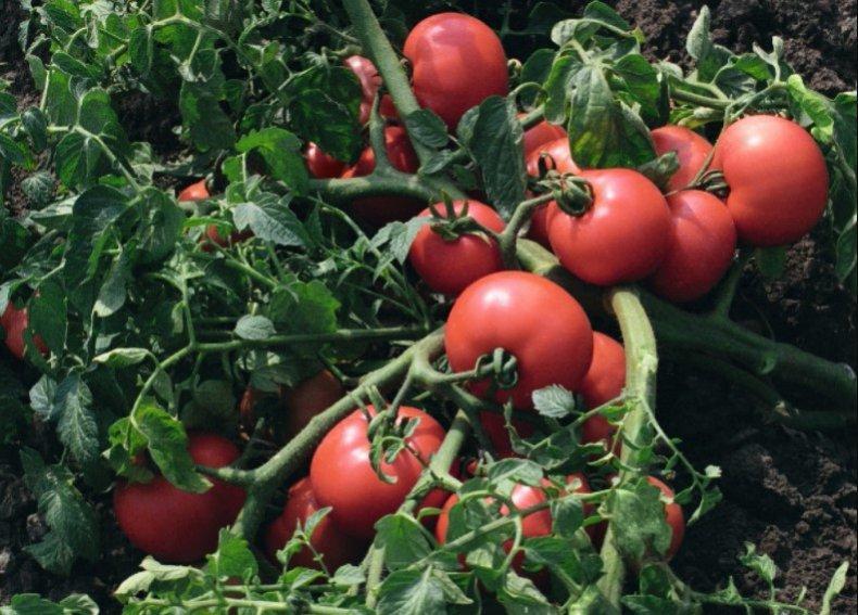 томаты султан