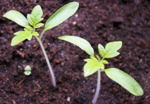 Когда нужно сеять помидоры на рассаду в Сибири, сроки и благоприятные дни