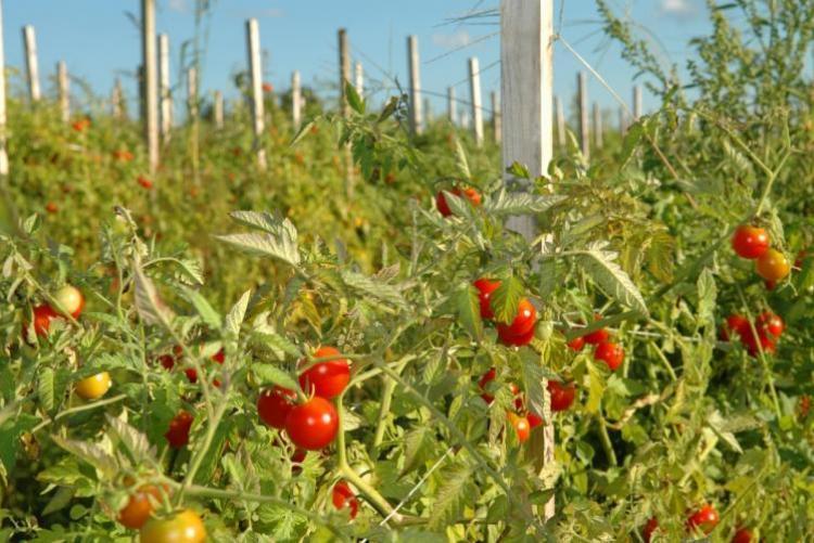 икировка томатов