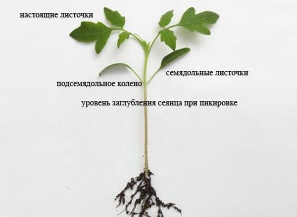 схема рассады томата