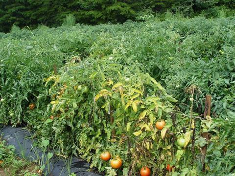 засыхание томатов