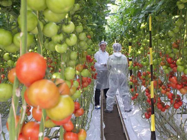 уход за томатом в теплице