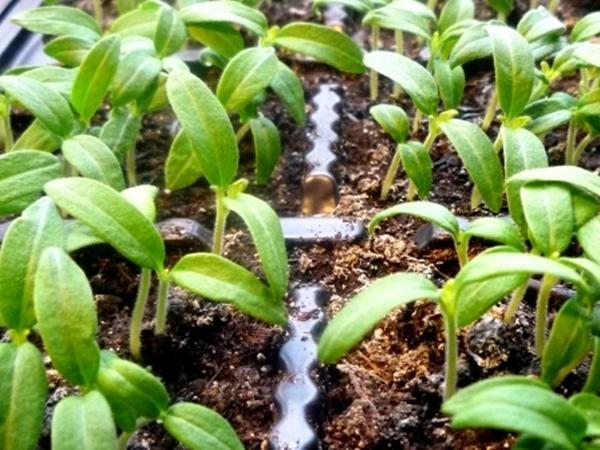 процесс роста рассады томата
