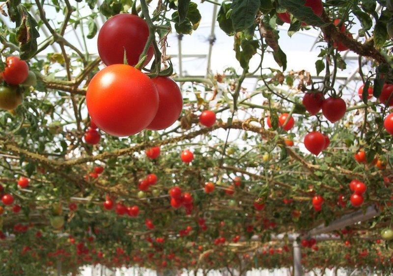 томат спрут
