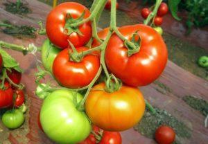 Описание лучших сортов кистевых томатов и правила выращивания