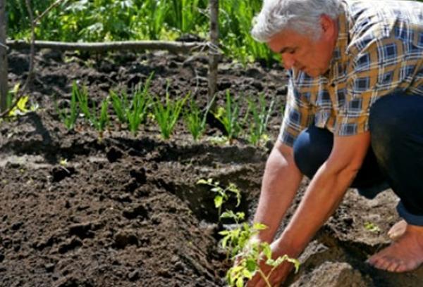 процесс посадки томата