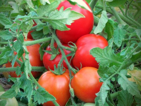 томат турбореактивный
