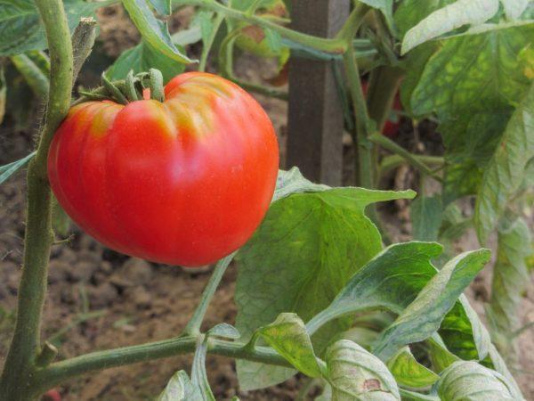 розовый абаканский томат