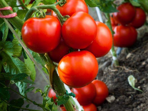 томат Безрассадный