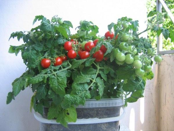 томат бонсай