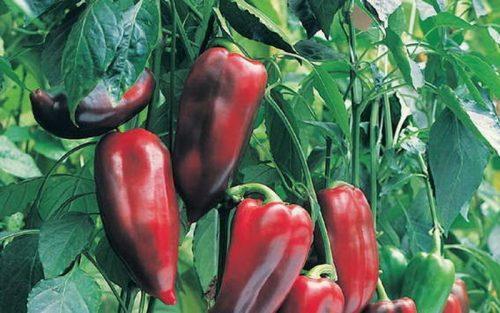 перец Буратино