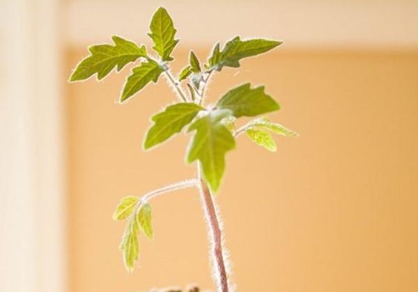 листья рассады томата