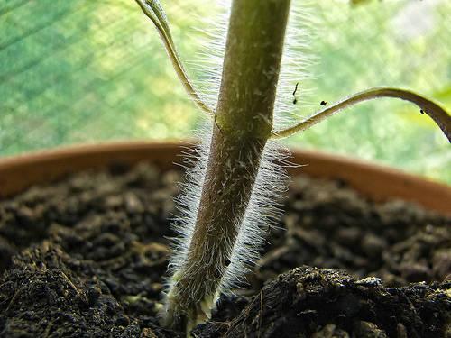 Черная ножка у рассады томатов что делать