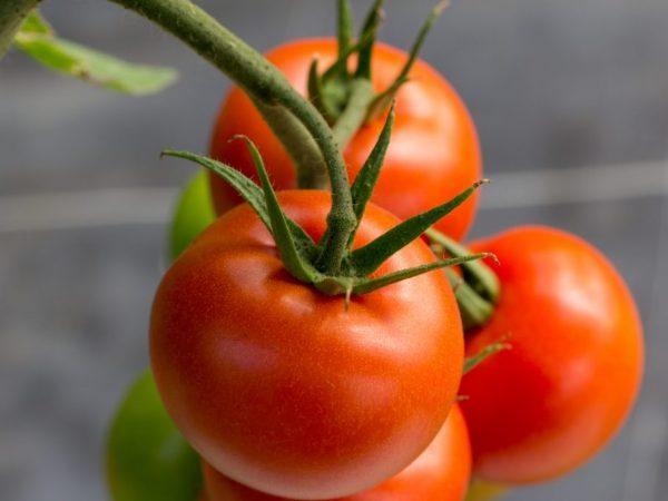 томат джина