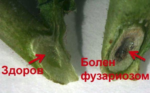 Болезнь фузариоз