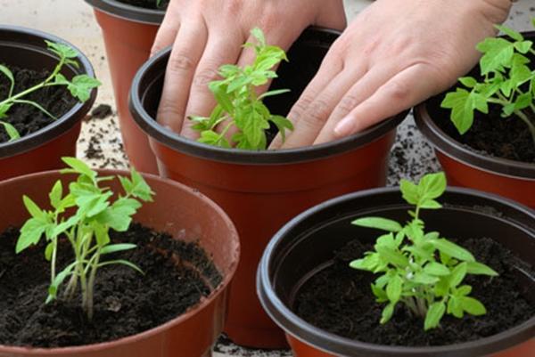 посадка рассады томата в горшки