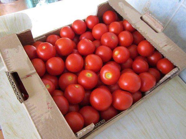 томат дебют