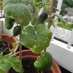 Описание сортов огурцов для выращивания на балконе, как посадить и опылять