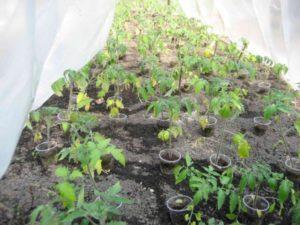 Почему у рассады помидоров могут вянуть и скручиваться листья и что делать