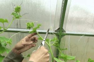 Как правильно прищипывать огурцы в открытом грунте, пошаговая инструкция