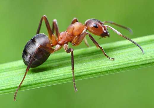 маленький муравей