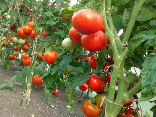 куст томата в открытом грунте